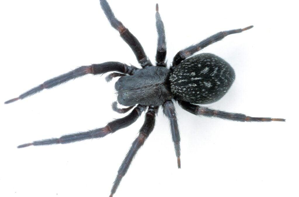 Black house spider removal Charlestown