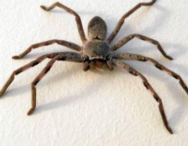 Huntsman spider removal Charlestown