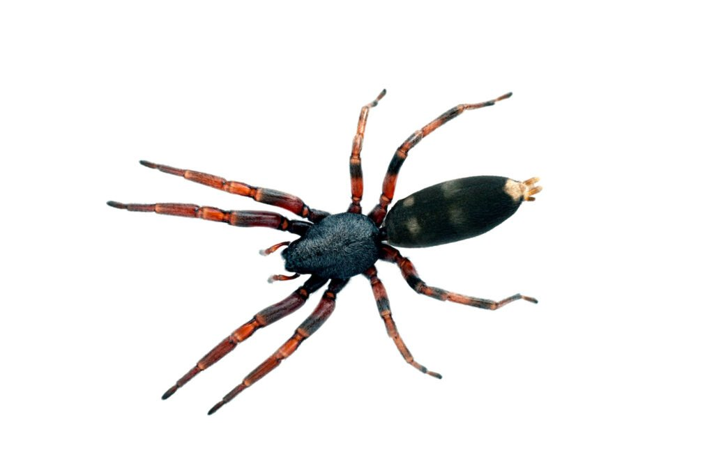 White tailed spider removal Charlestown